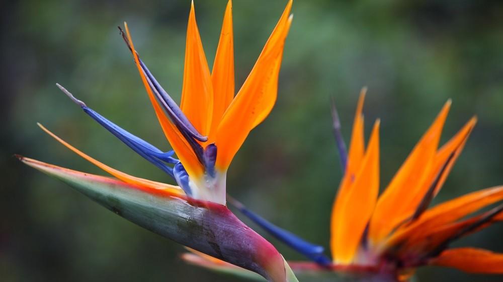 Цветки стрелиции