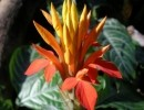 Афеландра оранжевая
