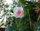 Дипладения в саду