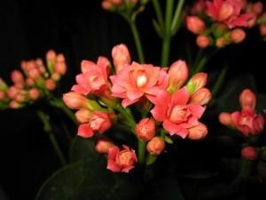 Освещение и полив комнатного растения каланхоэ