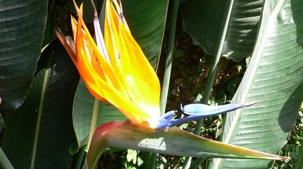 Цветок стрелиции