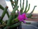 Хатиора розовая