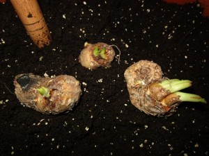 Размножение каллы