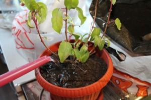 Уход за растением фуксия в домашних условиях