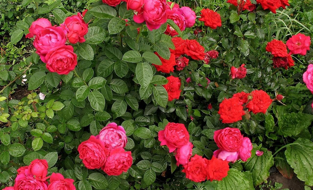 Розы Пиано в ландшафтном дизайне