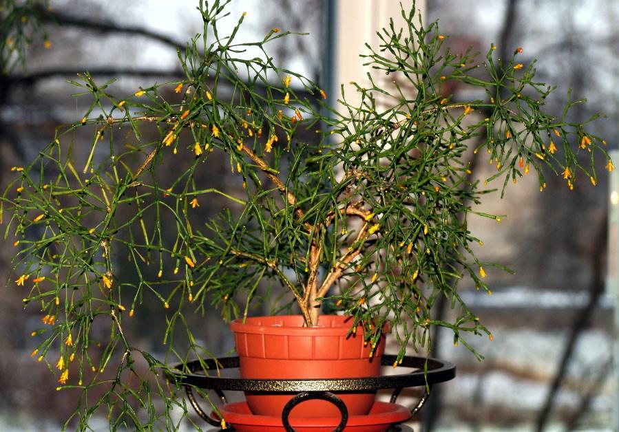 Полив кактуса хатиоры