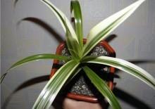 Винтовая пальма