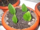 Размножение комнатного замиокулькаса