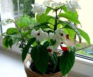 Уход за комнатным цветком клеродендрумом