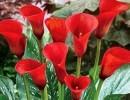Красная калла