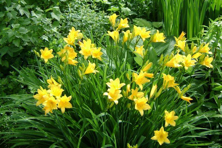 Среднерослые многолетние растения достигают в высоту 50-70 см.