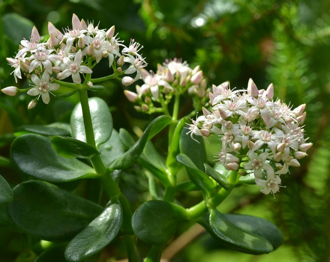 Как добиться цветения денежного дерева?