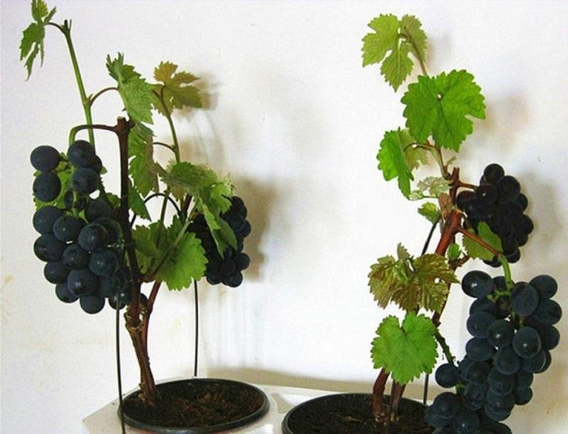 Виноград в квартире