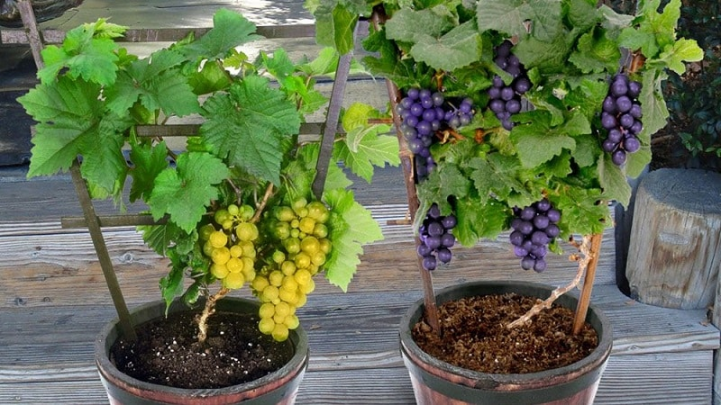 Виноград в домашних условиях