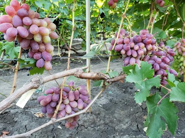 Сорт винограда Урум