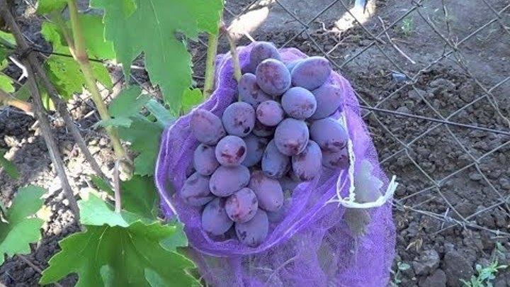 Виноград граф