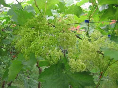 виноград Велес цветет