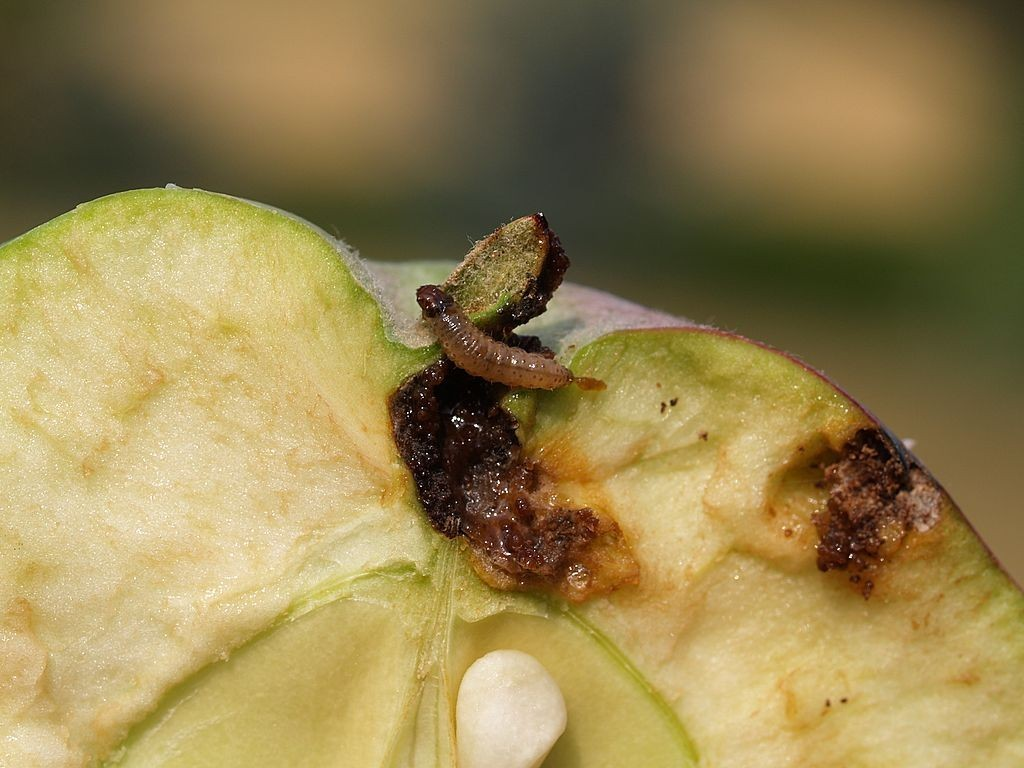 Как бороться с яблоневой плодожоркой