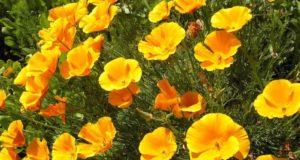 Выращивание эшшольции - главные секреты