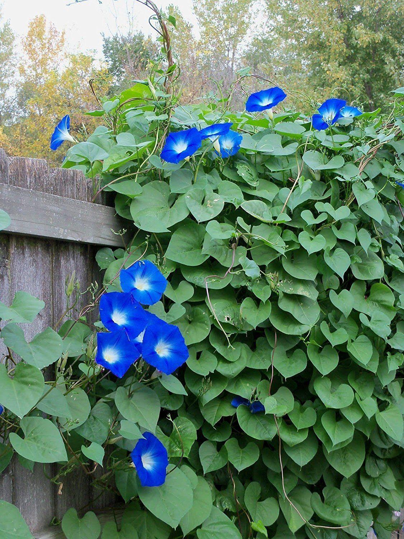 Цветок утренней зари: ипомея и ее выращивание