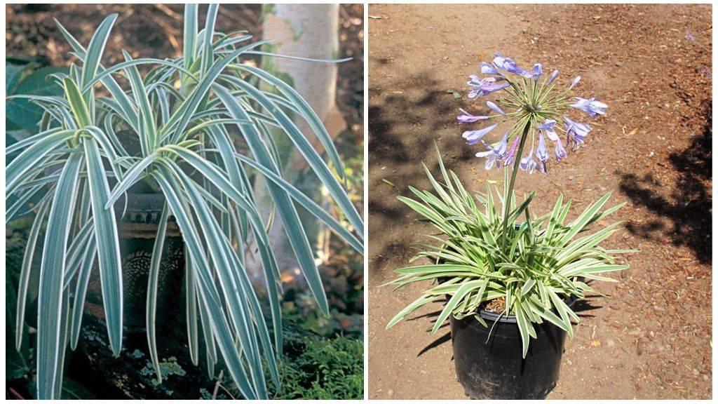 Особенности выращивания агапантуса