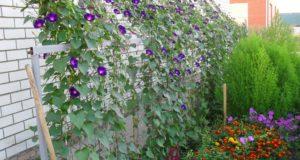 Выращивание ипомеи в открытом грунте