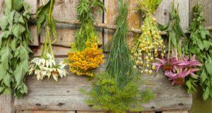 Какие лекарственные травы посадить на даче