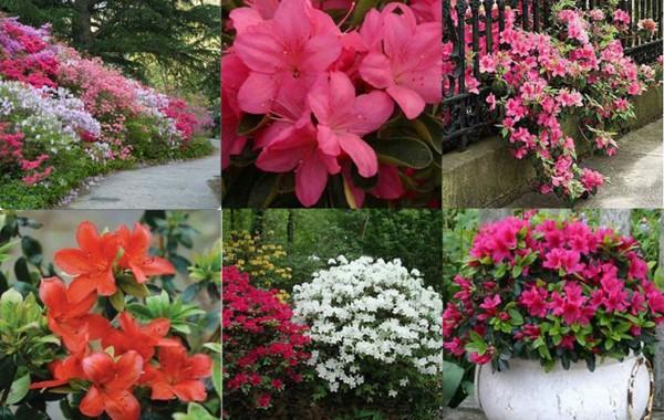 Выращивание азалии в саду - секреты и правила ухода